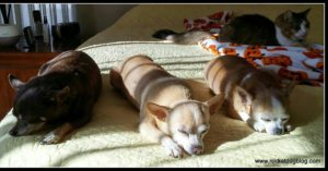 Pet Blogging - 3 sleeping Chiahuahuas plus a fluffy cat in the back ground